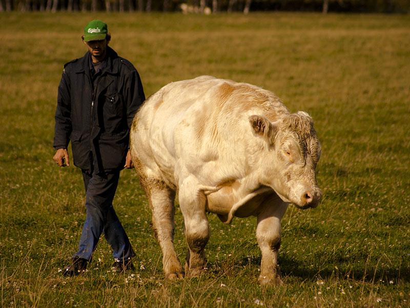 chov a prodej plemenných hospodářských zvířat - plemenného skotu Gasconne a Belgické modrobílé