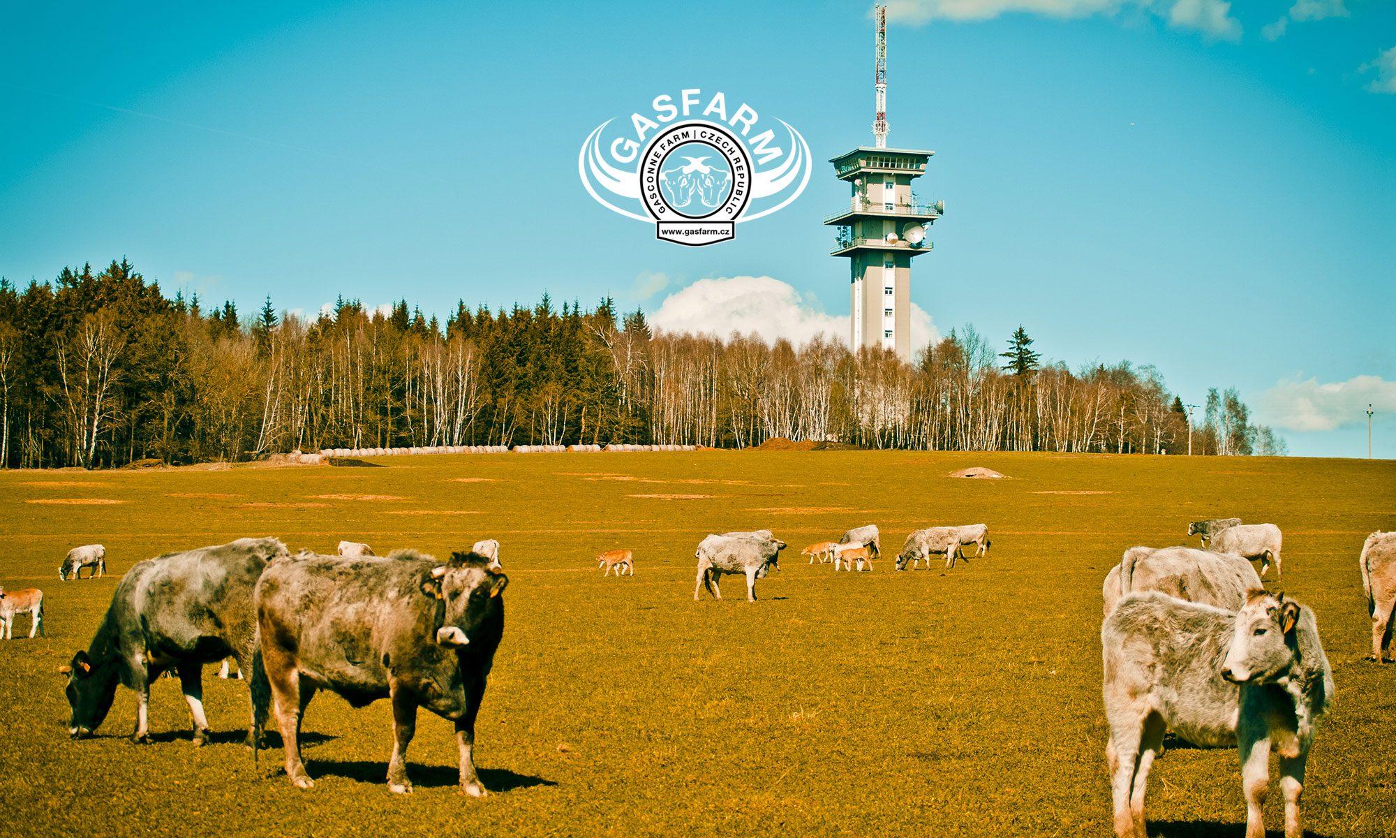 Gasfarm.cz | Chov a prodej hospodářských zvířat Gasconne a Belgické modrobílé